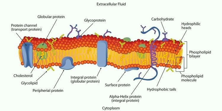 Lipid Çift-Katmanın Keşfi