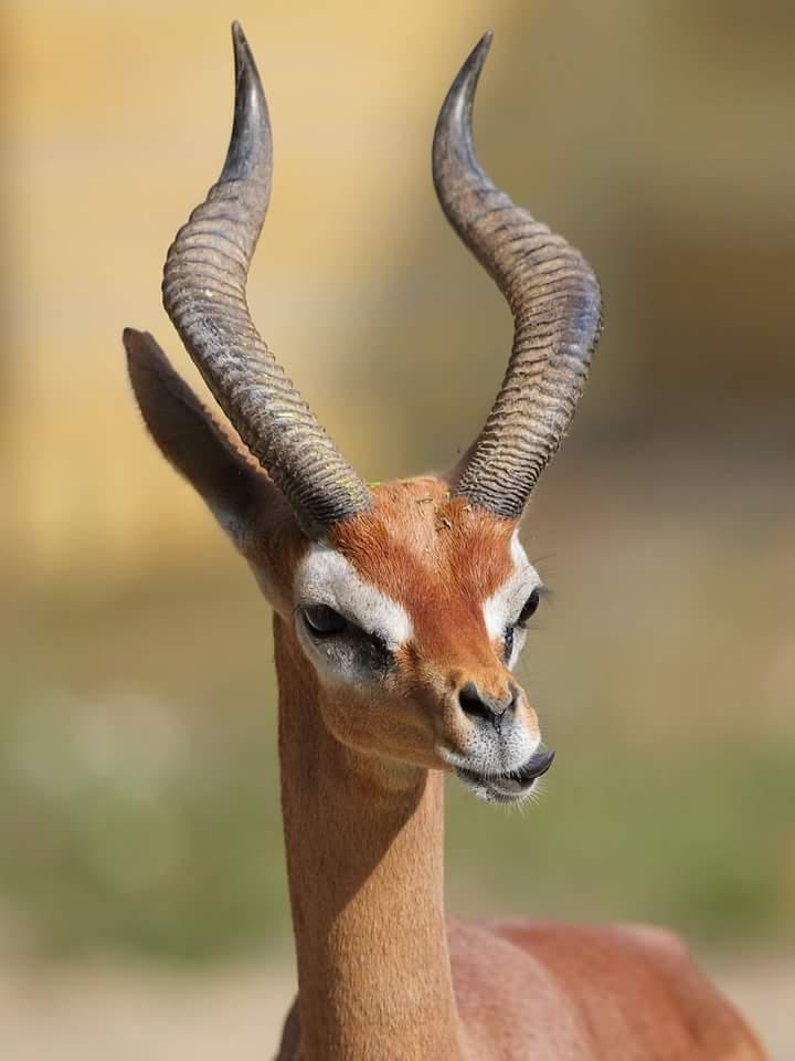 Litocranius walleri - Zürafa ceylanı