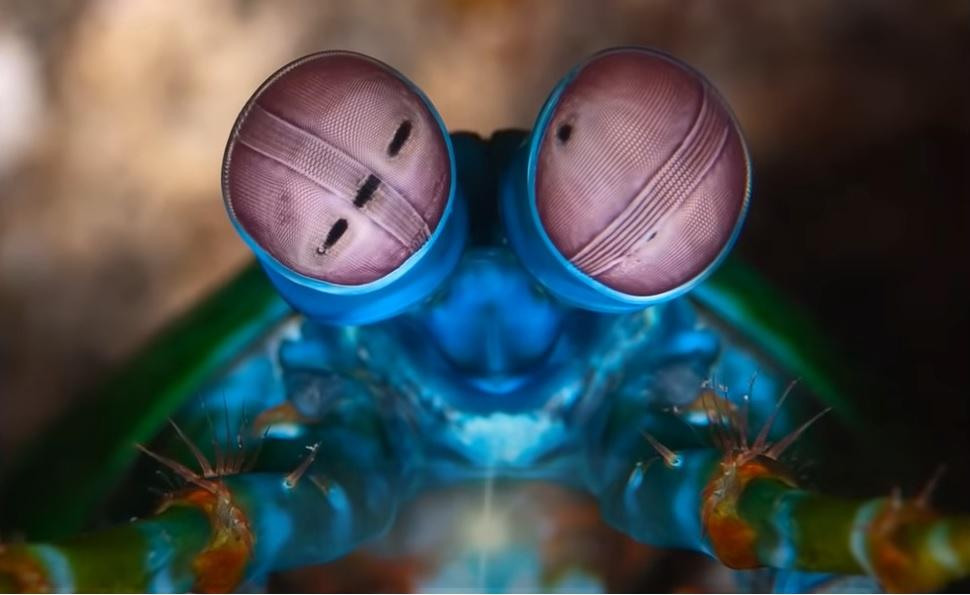 Mantis Karidesi - Peygamberdevesi karidesi