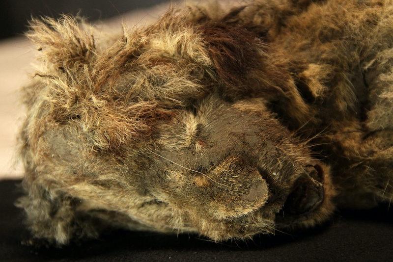 İki yıl önce Sibirya'da bulunan 28.000 yıllık mağara aslanı yavrusunun korunmuş kalıntıları. C: Love Dalén
