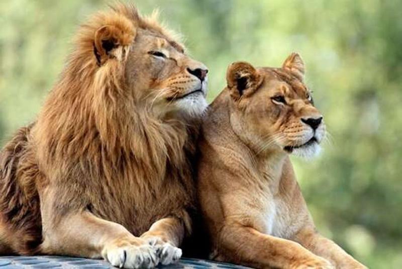 Fotoğraf: İnsanlar da dahil olmak üzere diğer birçok hayvan gibi, bu aslanlar da genetik yapısında XY ve XX kromozom çiftlerine sahip. C: Shutterstock