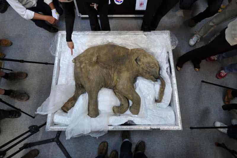 2012 yılında Hong Kong'da sergilenen Lyuba adlı iyi korunmuş bebek mamutun kalıntıları. C: AFP