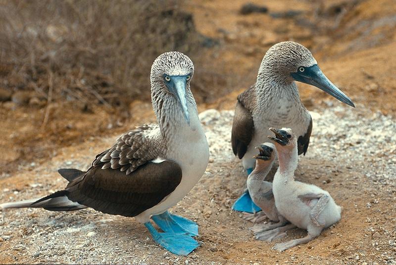 Mavi ayaklı sümsük kuşarı - Sula nebouxii
