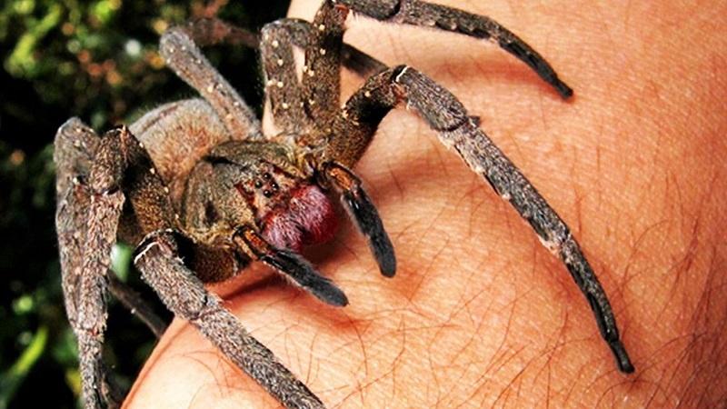 Dünyanın En Tehlikeli 15 Örümcek Türü