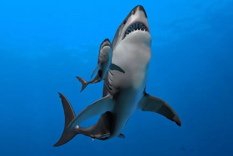 Megalodon, modern köpekbalıklarının çoğu gibi muhtemelen yavrularını doğurarak dünyaya getiriyordu. C: Science Photo Library/Getty