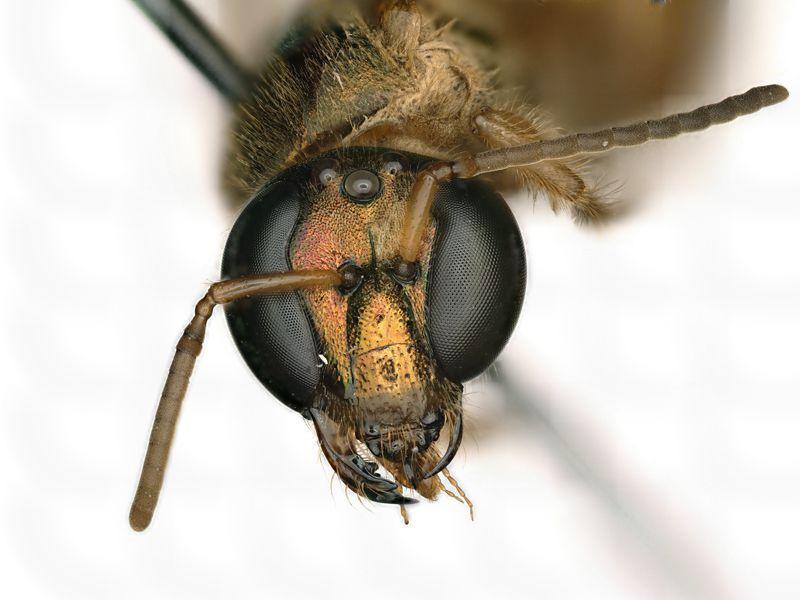 Bir tür bal arısı olan Megalopta amoena yüzüne bakıldığında yarısı dişi (arının sağ tarafı, bizim bakışımızdan sol taraf) ve diğer yarısı erkektir (arının sol tarafı bizim bakışımıza göre sağ). (Chelsey Ritner / Utah Devlet Üniversitesi)