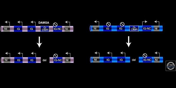 Memelilerde Genomik Damgalama