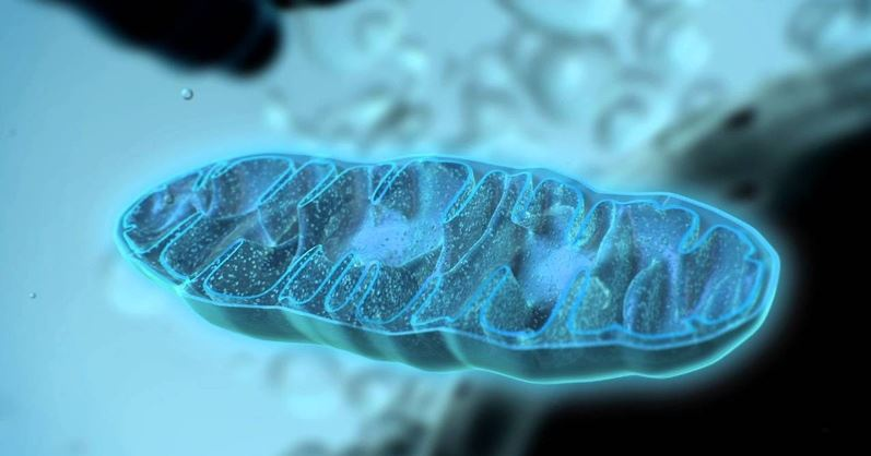 Mitokondri evrimini anımsatan mikroorganizmalar arası ilişkiler