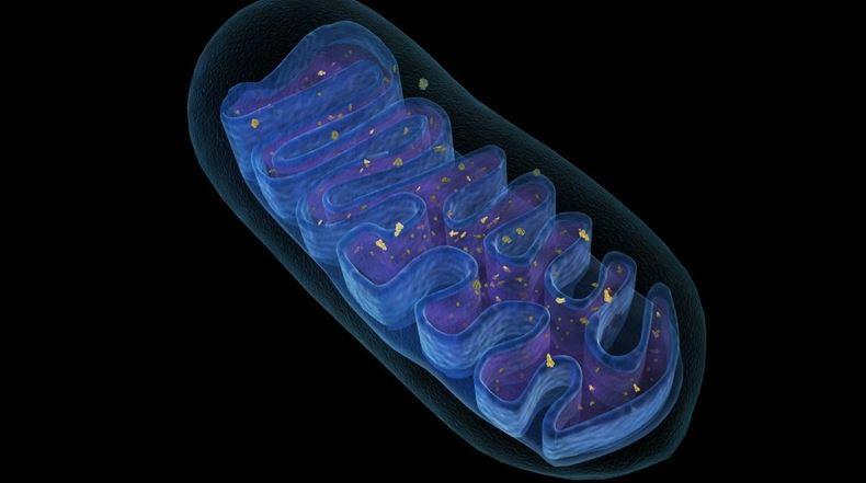 Mitokondriyal DNA'da meydana gelen kırıklar bağışıklık tepkisini düzenliyor