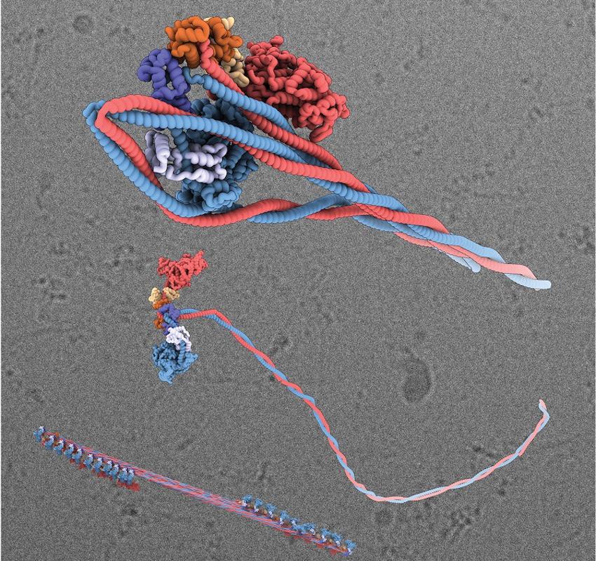 Üç boyutlu görselleştirme: Üstte, miyozin molekülünün kapanma durumu; ortada, aktif durumunda bir miyozin molekülü; altta, bir miyozin filamenti. (Kaynak: Leeds Üniversitesi)