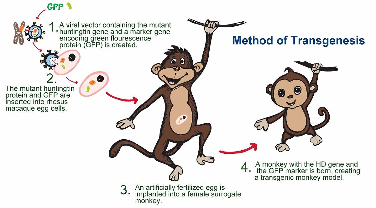 Transgenik HD Maymun Modelleri