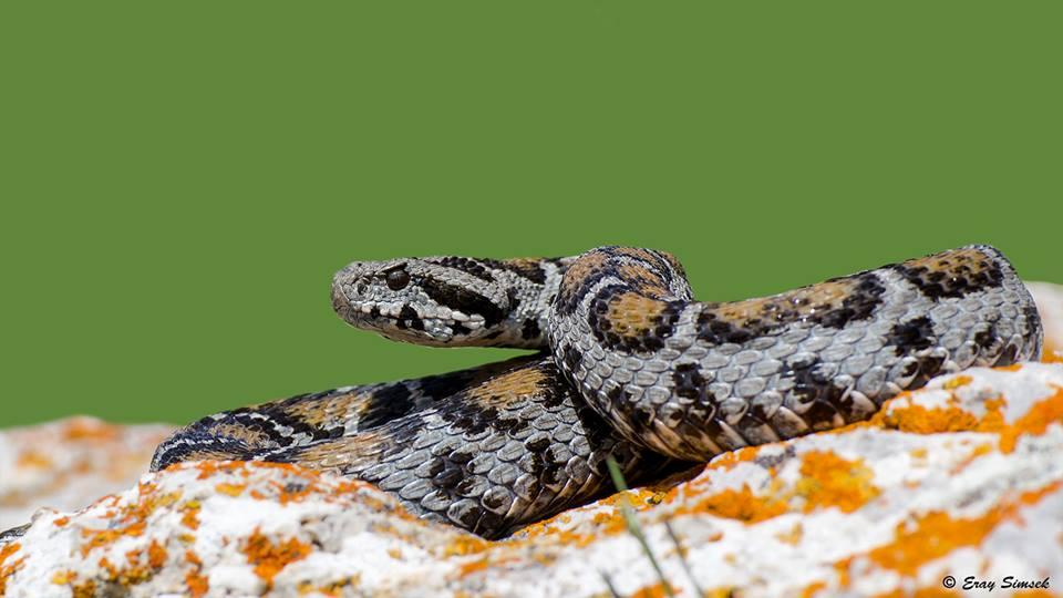 Montivipera albizona - Beyazbantlı Dağ Engereği