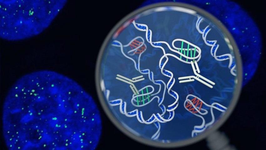 Canlı Hücrede, Çift Sarmallı Olmayan DNA Gözlemlendi