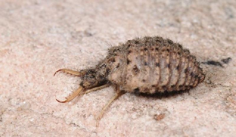 Karınca Aslanı - Myrmeleon formicarius