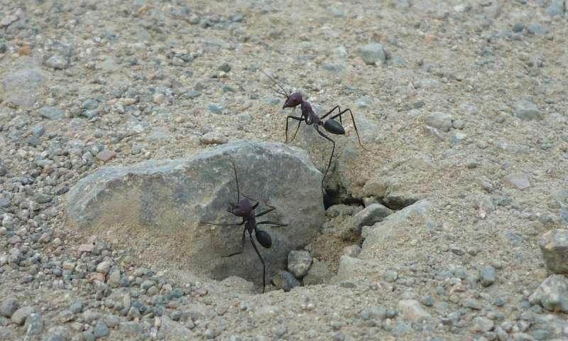 Çöl Karıncalarının Manyetik Algılama Duyusu Olduğu Anlaşıldı