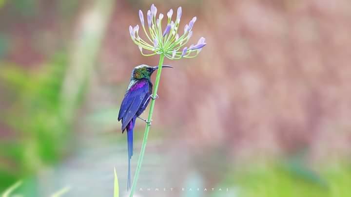 Tekeze Nektar Kuşu - Nectarinia tacazze