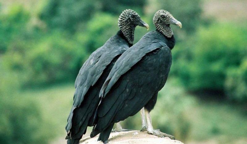 Ülkemizde Nesli Tükenmekte Olan veya Tükenen Kuş Türleri Nelerdir ?
