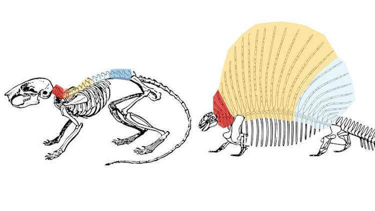 Omurganın Evrimi Sırt Problemlerimizi Körükledi
