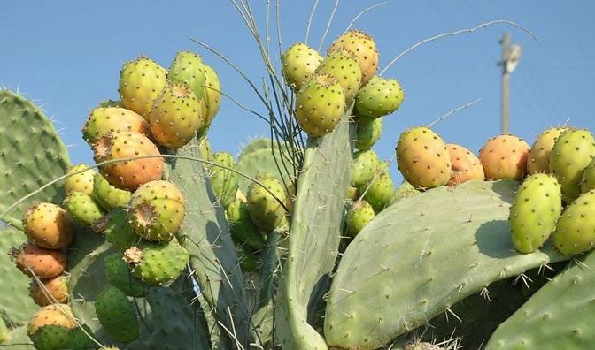 "Opuntia ficusindica - ""Dikenli İncir"""