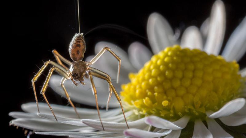 Havada süzülen örümcekler aslında elektrik yüklerini mi kullanıyor?