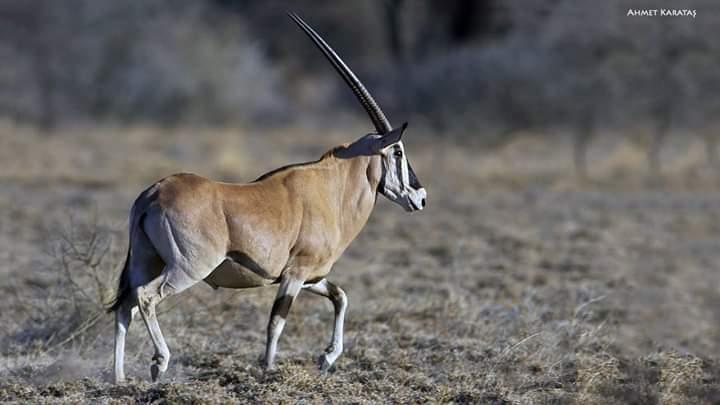 Beyza Antilobu - Doğu Afrika Orkisi - Oryx beisa