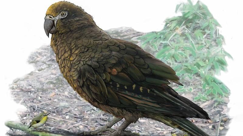 Yeni Zelanda'da Bir Metrelik Papağan Fosili Bulundu