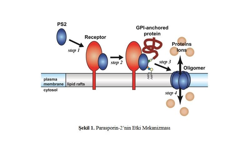 Anti-Kanser Protein Olan 'Parasporinler'