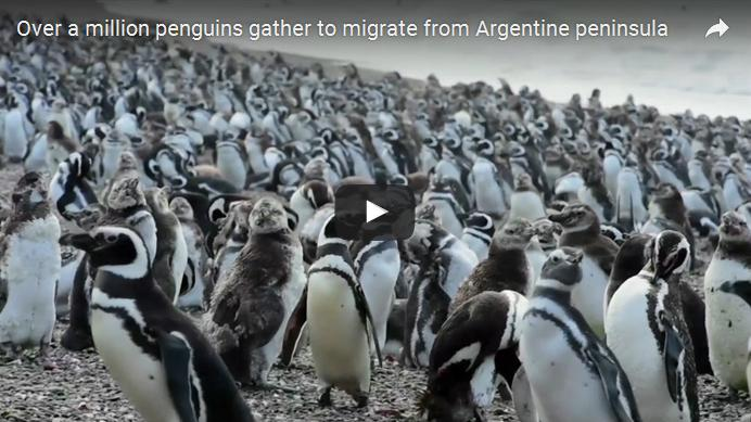 1 milyondan fazla penguen Arjantin'e iniyor.