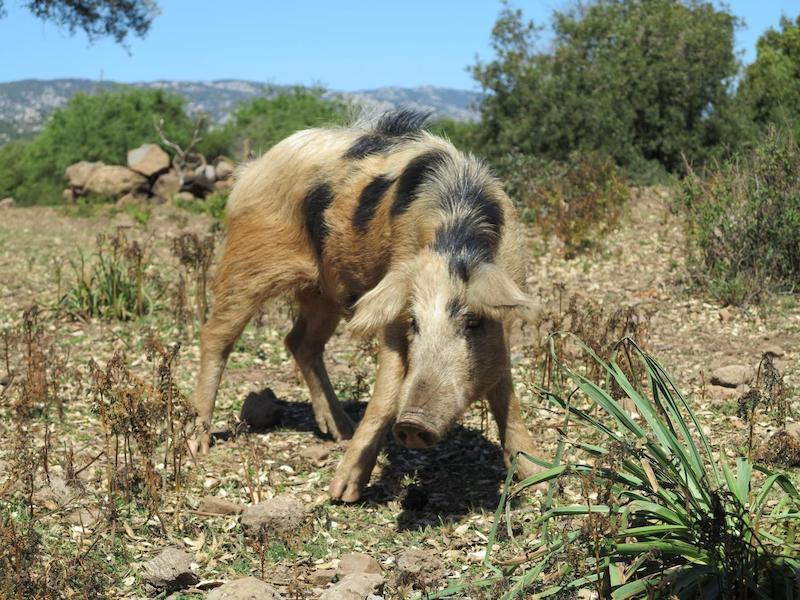 Genç bir Avrupa yaban domuzu. C: Domenico Fulgione Federico, Naples Üniversitesi