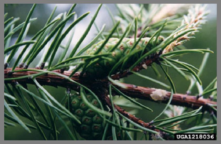 Pinus banksiana - Banks çamı