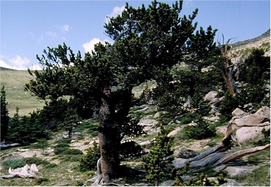 ''Pinus aristata'' US Forest Service photo
