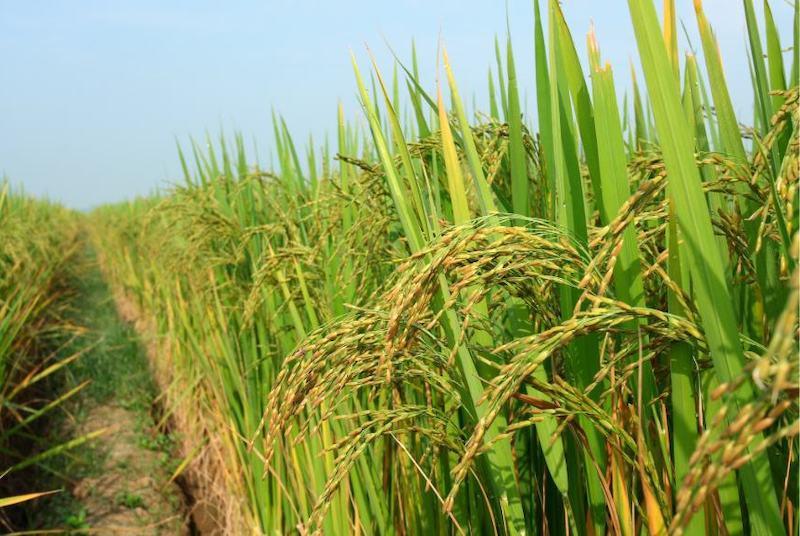 Pirinç tarlası. C: Getty