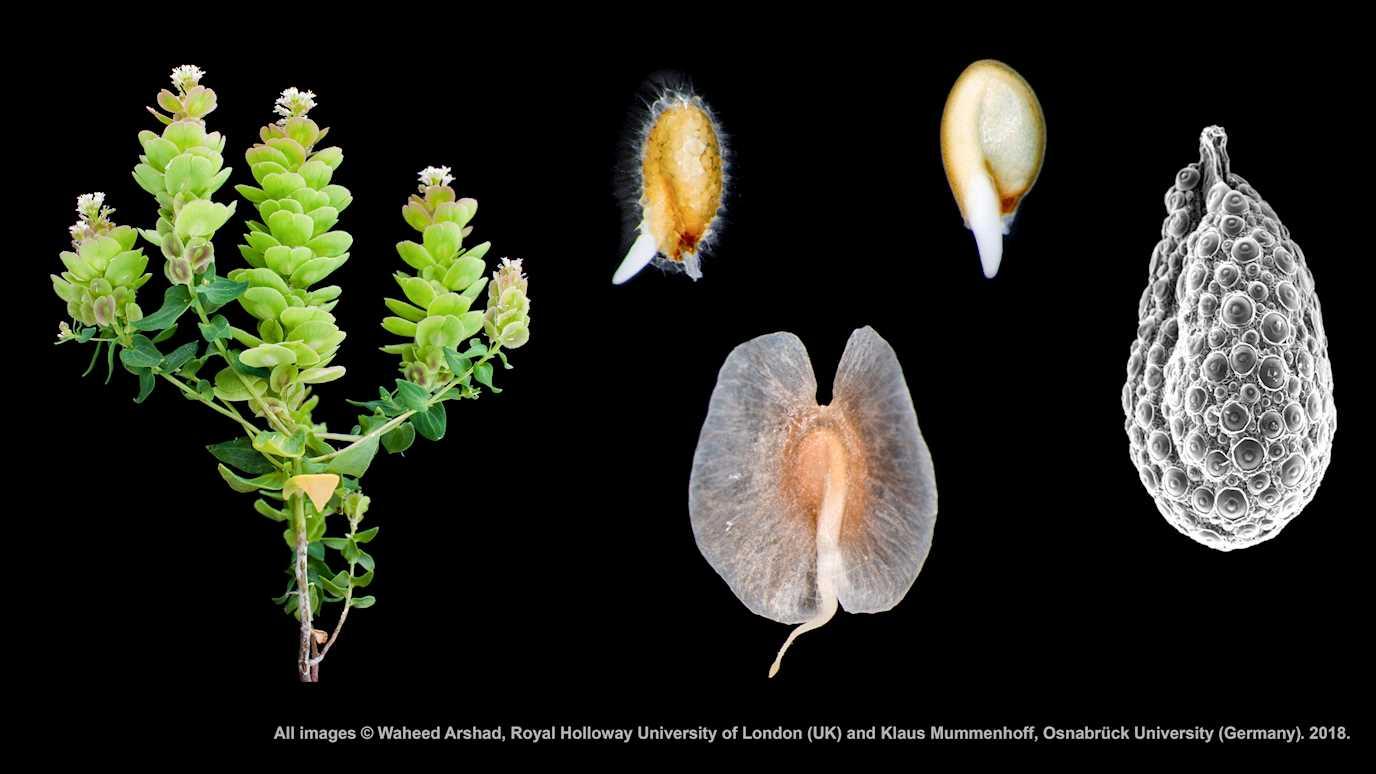 İki Farklı Çeşit Tohum Üreten Bitki Keşfedildi