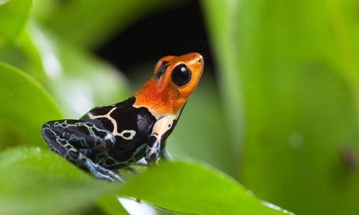 Ok kurbağaları kendilerini nasıl zehirlemeden yaşarlar? İşte evrimsel nedeni: