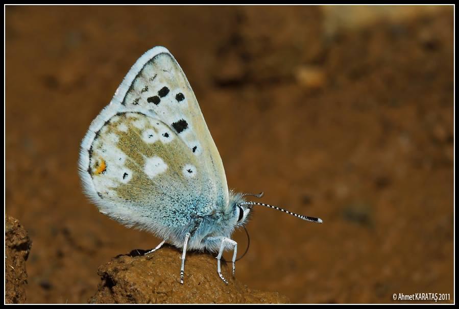 Polyommatus pyrenaicus - Pirene Çokgözlüsü