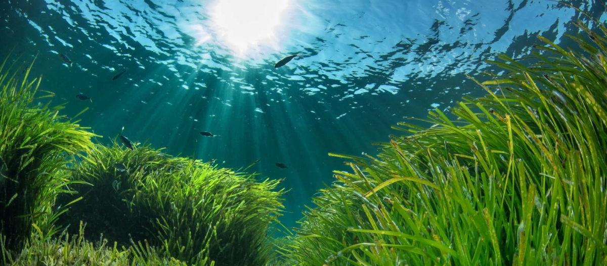 Posidonia oceanica Türkiye denizlerinin akciğeri: Bu çayır korunmalı