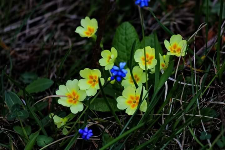 Primula vulgaris - Çuha çiçeği