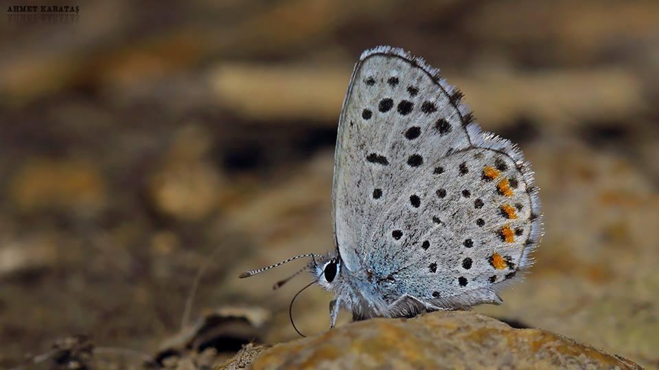 Pseudophilotes vicrama - Himalaya Mavisi