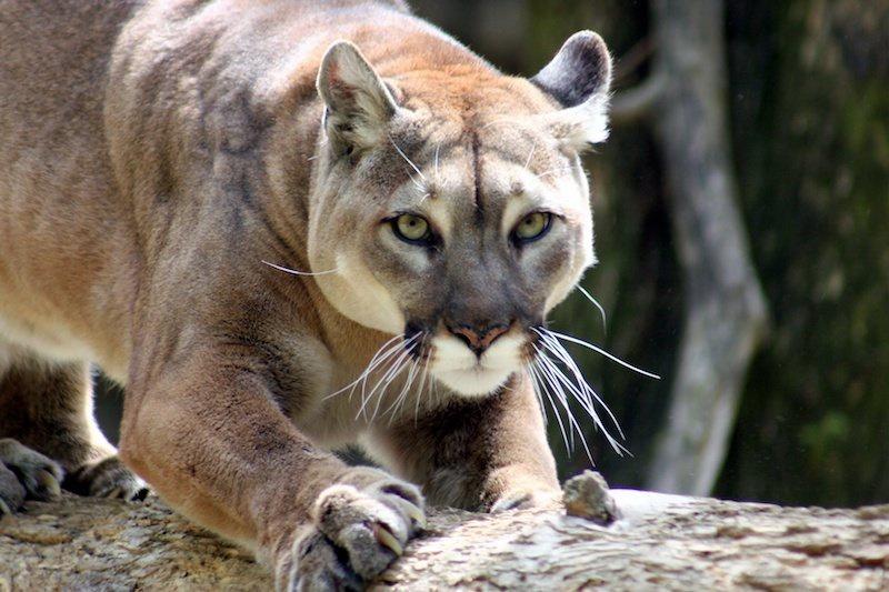 Kedigiller familyasına ait olan Puma görseli. C: Stock Images