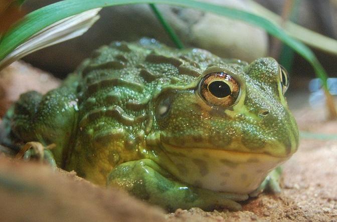 Afrika Boğa Kurbağası - Pyxicephalus adspersus