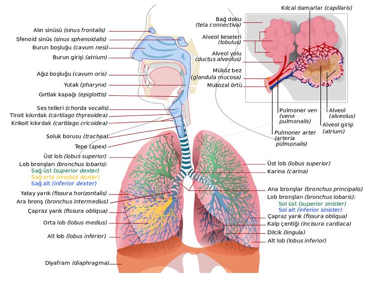 Canlılarda Solunum Sistemi Hakkında Bilgi