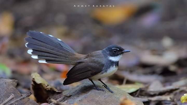 Rhipidura javanica - Malezya Alaca Yelpaza Kuyruğu