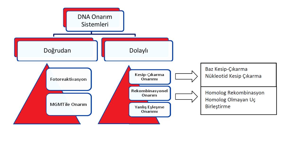 Şablon : DNA Onarım Mekanizmaları  E. Latife Kurtoğlu ve İ. Tekedereli