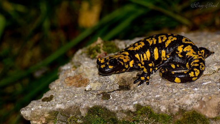 Salamandra infraimmaculata - Türk semenderi