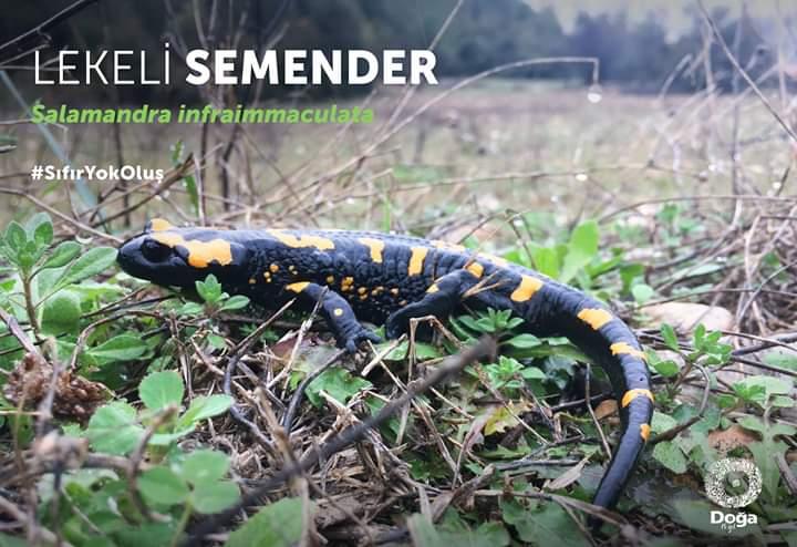 Lekeli semender - Salamandra infraimmaculata