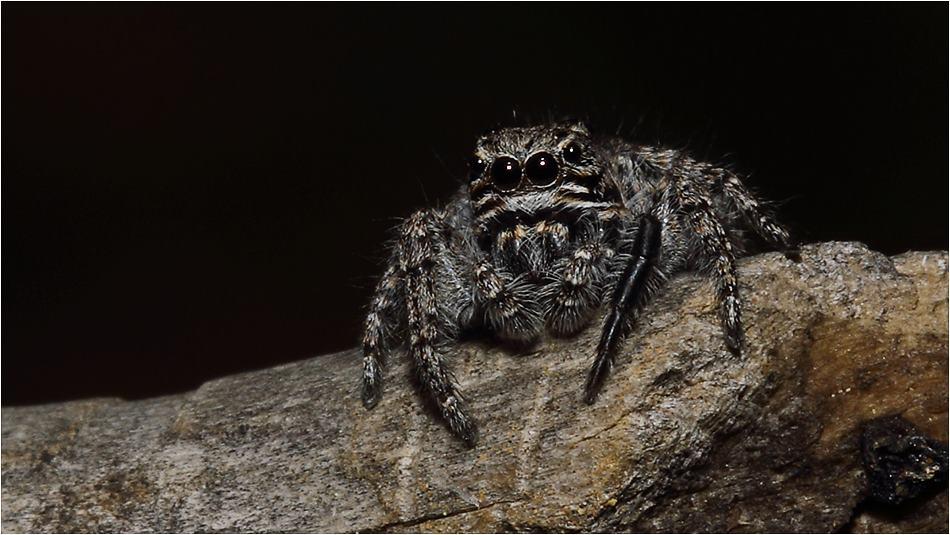 Salticidae - Sıçrayan Örümcekler