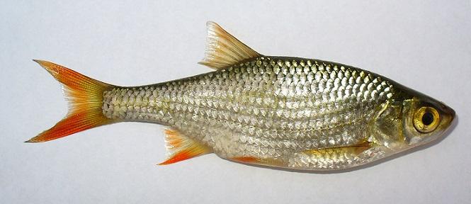 Kızılkanat (Scardinius erythrophthalmus)