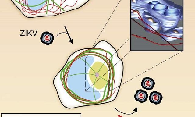 Zika Enfeksiyonunun İnsan Hücresini Nasıl Değiştirdiğini Görün...