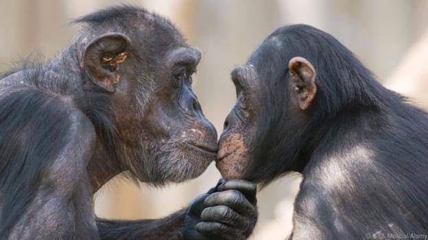 Şempanzeler bir kavgadan sonra öpüşüp kucaklıyorlar (Kredi: CO Mercial / Alamy)