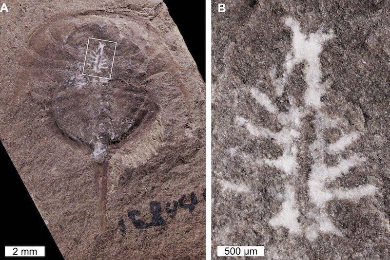 (A)At nalı yengeci fosilinin bozulmadan korunmuş beyin örneği, Mazon Creek Illinois ABD. (B) Resimdeki beynin yakından görünümü. C: Russell Bicknell
